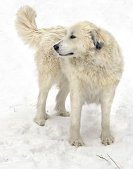 Snow Dog (Flint-Hill (away)) Tags: mouse greatpyrenees patou livestockguardiandog ss10012 x0497