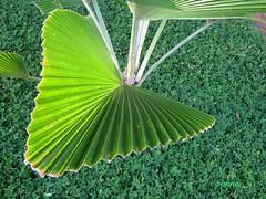 tudo verde... (Silvianasci) Tags: verde planta garden jardim simno explore2009 gramanativa takenonjanuary222009