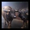 Jawn Sha, No cha -- Chúc mừng năm mới (NaPix -- (Time out)) Tags: new nature animal buffalo asia action year ox vietnam explore southeast lunar sapa tms blackhmong 500x500 tellmeastory 越南 水牛 طبيعة lịch القمر trâu explored bản chúcmừngnămmới flickrsbest chất 性质 ký التوقيع âm napix winner500 vosplusbellesphotos superstarthebest jawnshanochainhmong theyearofthebufalloox 1onflickrcamerafindercanonpowershotg6 الجاموس