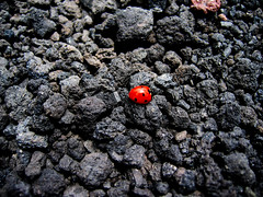 Coccinella (stefanopriano) Tags: red italy black macro animal volcano lava sicily etna basalt gmt coccinella stefanopriano