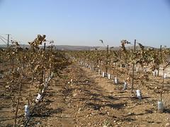 Grape Vines in Israel