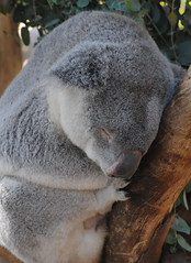Koala Bear Sleeping at SD Zoo (Smilinone) Tags: nikon sandiegozoo d300 koalabears