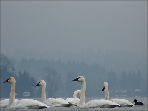 Trumpeter Swans on Lake Washington