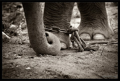 A Chained Fate (Mattong) Tags: bw elephant chain malaysia trunk duotone elephantsanctuary thechallengefactory