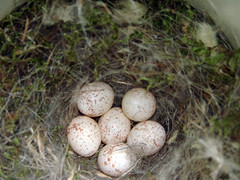 Black-capped Chickadee nest with six eggs