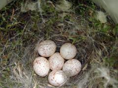 Black-capped Chickadee nest with six eggs (Laura Erickson) Tags: newyork nest eggs ithaca blackcappedchickadee poecileatricapillus sapsuckerwoods