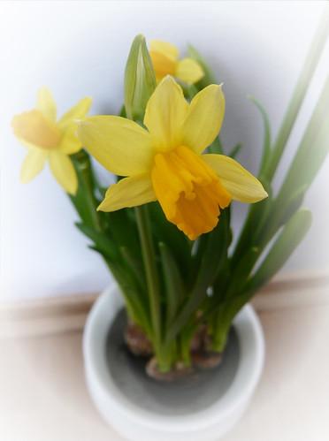 Påskelilje/Narcissus