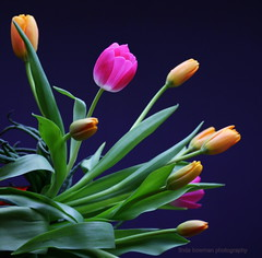 Predicting tulips (lynne_b) Tags: pink flowers green nature floral leaves yellow petals illinois flora tulips blossoms buds bouquet blooms curve arrangement budding freshflowers explored