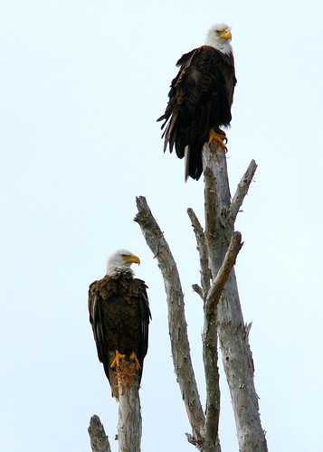 TwoEaglesRoosting20090223