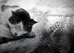 [フリー画像] [動物写真] [哺乳類] [ネコ科] [猫/ネコ] [寝顔/寝相/寝姿] [モノクロ写真]     [フリー素材]