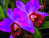 Extraterrestrial Orchids (Kurlylox1) Tags: pink flowers wild two saturated colorful purple orchids burgundy vivid twin exotic cattleya ruffled supershot