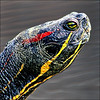 ~Sniffing Spring ~ (ViaMoi) Tags: spring turtle sniff paintedturtle digitalcameraclub supershot platinumphoto viamoi goldstaraward 100commentgroup