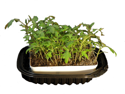Heirloom Tomato Seedlings - Recycled Barbecue Chicken Container