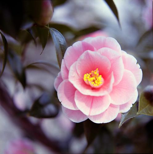 Camellia*