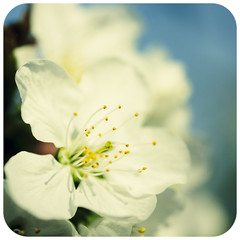Just another cherry blossom (manganite) Tags: white plant color macro tree topf25 weather closeup digital photoshop germany square de cherry geotagged iso100 petals interestingness spring xpro nikon colorful europe glow dof seasons bright blossom bokeh tl framed vivid sunny explore frame highsaturation cherryblossom sakura cropped highkey d200 pollen nikkor dslr f28 stigma lightroom 50mmf18 disteln sakuranohana herten northrhinewestphalia stamina carpel nikond200 interestingness171 i500 manganite colorefexpro 12500sec roundedges uhlandstrase date:month=april date:day=11 date:year=2009 format:orientation=square format:ratio=11 12500secatf28 geo:lon=7152328 geo:lat=51598275