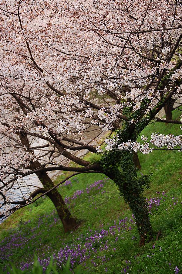 _cherry_blossom-3_