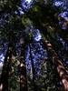 20090422 Muir Woods Big Trees