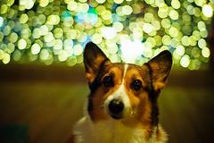 starred (moaan) Tags: light dog digital 35mm gold golden corgi dof bokeh voigtlander illuminations utata welshcorgi 2009 nokton f12 rd1s voigtlandernokton35mmf12 pochiko epsonrd1s thelittledoglaughed bokehballs goldenbokeh gettyimagesjapanq1 gettyimagesjapanq2