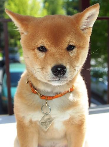 フリー写真素材, 動物, 哺乳類, イヌ科, 犬・イヌ, 子犬・小犬, 柴犬,