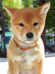 [フリー画像] 動物, 哺乳類, イヌ科, 犬・イヌ, 子犬・小犬, 柴犬, 201008291100