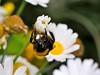 Yuri Checchi (paolo-55) Tags: nikon bee ape d300 105mmvrmicronikkor macromarvels natureselegantshots rubyphotographer