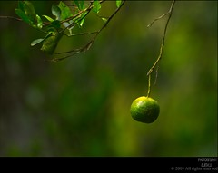 "Orange was born ""Green"" (Ajith ()) Tags: orange nature yellow fruit photography raw bokeh small minimal u citrus lime minimalism simple coloured greeen tone ripe kamala clicks ajith simplistic aspect kamaladas ajithu uajith mk090524 madhavikkutti surayya colouredclicks ajithphotography ajithuuphotography ajithuphotography colouredclickscom coloredcicks coloredclicks ajithuwordpresscom ajithkumaru"