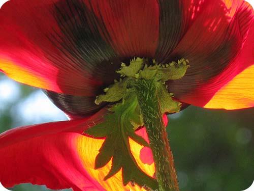 Poppy IV