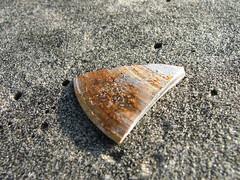 Part of a Seashell on Coronado Beach