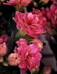 Orvalho (Regina Waddington) Tags: flores natureza 1001nights orvalho viosa kodakz740 flickrhappy gotasdeorvalho