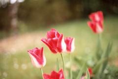 Red tulips? (Rasmus Hansen) Tags: red summer flower 50mm olympus tulip om1 f28 scannednegatives