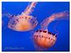 Jelly Fish (Jill's Junk) Tags: california monterey jellyfish wma montereyaquarium outstandingshot colorphotoaward bratanesque jillsjunk