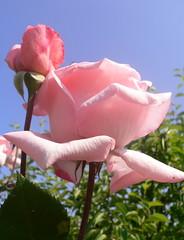 Rose... Icon of love (Luigi Strano) Tags: flowers flores fleurs flor blumen fiori blommor bungabunga maua roza bloemen blomster bulaklak hoa flors iekler  flori  kvtiny   geles lule virgok blom kukat fior cvijee lilled blomme viragok    masterphotos ziedi   kbetki kuety