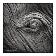 Thai Elephant's CrEye (Vincent_AF) Tags: rescue elephant eye animal thailand photo pain hurt asia vincent photographs photograph thai torture chiangmai cry tear tame taming asianelephant cruelty cruel animalcruelty flickrphoto flickrimage true2bw flickraward elephantnaturefoundation flickrbestpics flickrphotography neroamet vincentvanderpas archetypefotografie elephantcruelty blackandwhitephotographsofnature