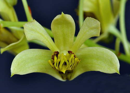 Dendrobium delacouri, close up of flower.