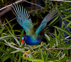 Purple Gallinule wtih wings up in breeding plumage Everglades National Park (kevansunderland) Tags: evergladesnationalpark gallinule royalpalm purplegallinule birdphotography floridabirds enp anhingatrail courtshipdisplay breedingdisplay