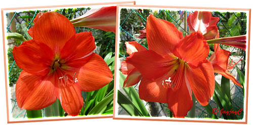 A collage of sun-kissed scarlet-coloured or orange-red Hippeastrum at our backyard