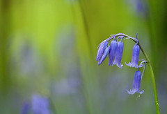 Bluebells (Janek Kloss) Tags: county wood blue ireland wild flower bluebells forest photo fotograf bell photos bokeh may irland eire fotka fotografia bluebell hibernia attraction zdjecia irlanda 2010 kildare ierland j23  zdjecie fotki irlandia rathangan   hwdp  killinthomas lirlande fotosy  nikkor105mmf28gvrmicro   moli516