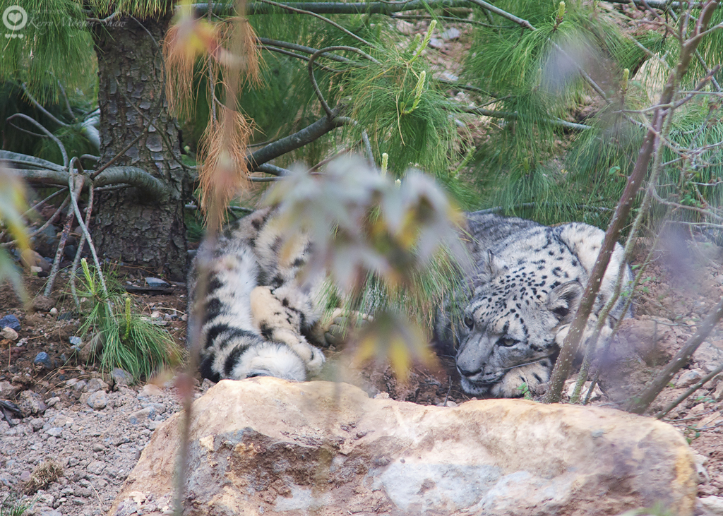 Snow Leopard2