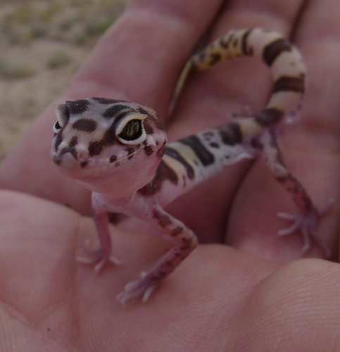 banded gecko