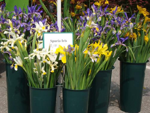 6-4-spuria-iris