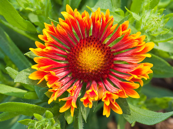'Fanfare' Blanket Flower