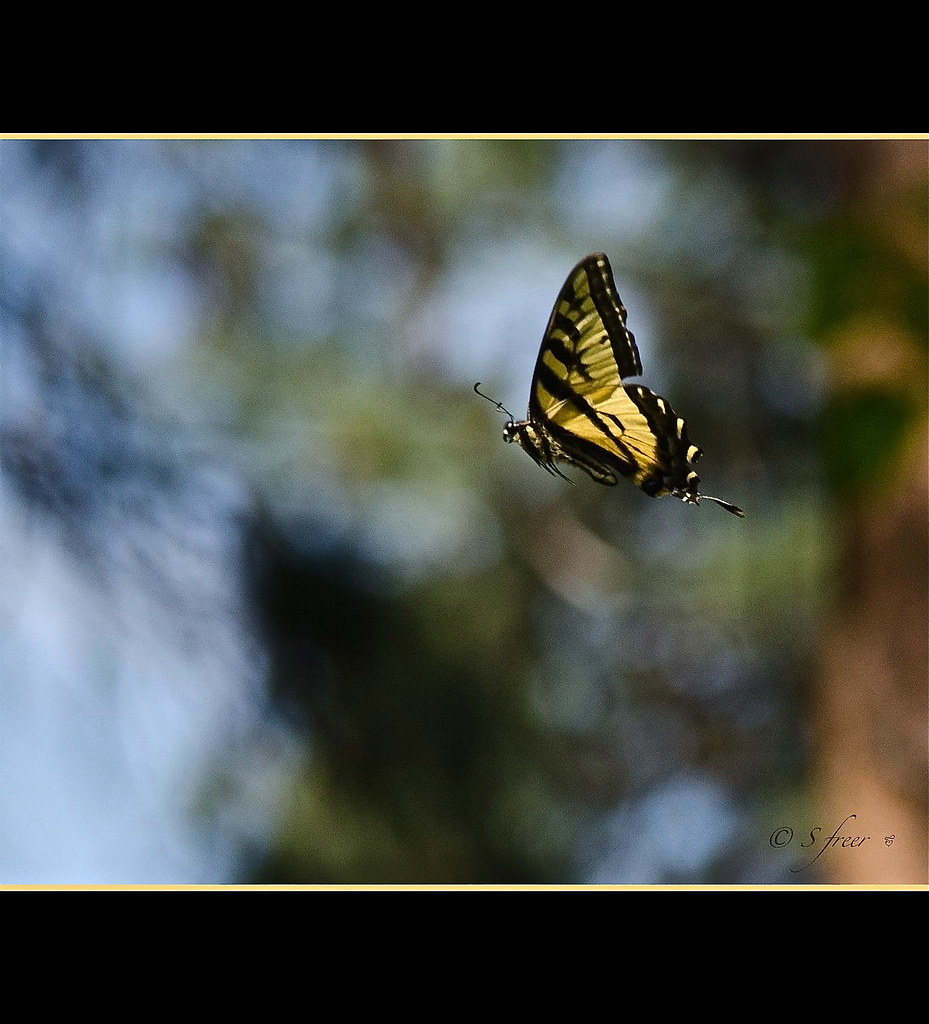 Flight of the Swallowtail