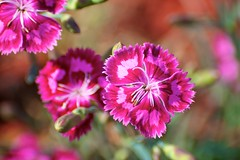 Sweet William flowers (Dean Gulstad) Tags: