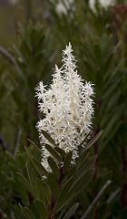Agastachys odorata (Nuytsia@Tas) Tags: flowers white flower australia canon350d tasmania queenstown proteaceae geo:country=australia agastachysodorata fragrantcandlebush agastachys mg4271a geo:state=tasmania