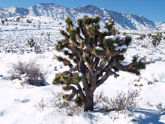 Joshua Tree in the Snow (pjink11) Tags: california winter mountain snow dessert joshuatree 2008 tehachapi