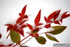 Snow on leaves 005