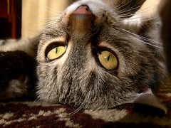 reverse julca (smichal) Tags: sun macro cute eye cat hair nose nice play pussy kitty sunrays makro muffle detailed nozzle cateye julca