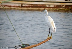 White Stork (Waleed Aldakhil) Tags: white waleed stork خبر البحر ماء شاطئ الخبر بحر طير طيور كورنيش طائر وليد كرنيش الشرقيه الشرقية الدخيل aldokhail