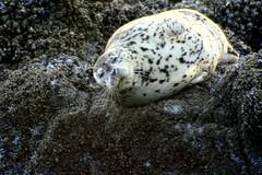 Smiling Seal (wavesandwaterfalls) Tags: ocean nature oregon canon coast wildlife shoreline sealife pacificocean seal oregoncoast 2008 canondslr lanecountyoregon