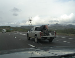 Robo-cow? (twm1340) Tags: trip travel arizona cow highway az bull rodeo whatever interstate roadside